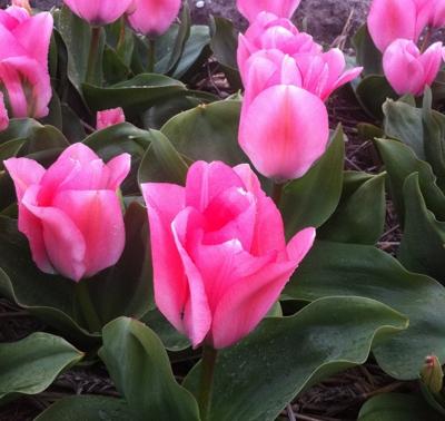 ミニチュアガーデンに咲くチューリップ